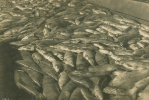 Hundreds of chum salmon lying on the floor of a cannery.